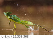 Купить «Green / Double-crested basilisk (Basiliscus plumifrons) running across water surface, Santa Rita, Costa Rica. Did you know? This amazing lizard is colloquially...», фото № 25339368, снято 26 мая 2019 г. (c) Nature Picture Library / Фотобанк Лори
