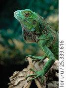 Купить «Head portrait of Common iguana (Iguana iguana)», фото № 25339616, снято 3 апреля 2020 г. (c) Nature Picture Library / Фотобанк Лори