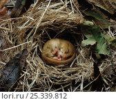 Dormouse (Muscardinus avellanarius) hibernating within nest. Winter, UK. Стоковое фото, фотограф Stephen Dalton / Nature Picture Library / Фотобанк Лори
