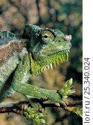 Купить «Four horned chameleon (Chamaeleo quadricornis) portrait, controlled conditions», фото № 25340024, снято 3 апреля 2020 г. (c) Nature Picture Library / Фотобанк Лори