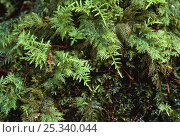Купить «Feather moss, UK», фото № 25340044, снято 22 августа 2018 г. (c) Nature Picture Library / Фотобанк Лори