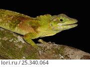 Anole Lizard  (Anolis princeps) Occidental, West Ecuador. Captive. Стоковое фото, фотограф Pete Oxford / Nature Picture Library / Фотобанк Лори