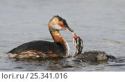 Купить «Slavonian / Horned Grebe (Podiceps auritus) adult feeding chick on water, Uts, Finland, August,», фото № 25341016, снято 16 августа 2018 г. (c) Nature Picture Library / Фотобанк Лори