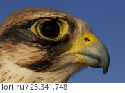 Купить «RF- Lanner falcon (Falco biarmicus), head portrait of captive falconry bird, Dubai, United Arab Emirates.», фото № 25341748, снято 18 января 2019 г. (c) Nature Picture Library / Фотобанк Лори