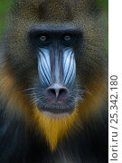 Купить «Head portrait of male Mandrill (Mandrillus sphinx) Captive. Apenheul zoo; the Netherlands.», фото № 25342180, снято 27 мая 2019 г. (c) Nature Picture Library / Фотобанк Лори