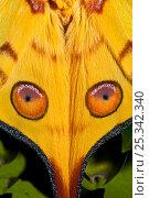 Купить «Male Comet Moth / Madagascan Moon Moth (Argema mittrei) close up of eye pattern on wings, captive, from Madagascar», фото № 25342340, снято 20 сентября 2018 г. (c) Nature Picture Library / Фотобанк Лори
