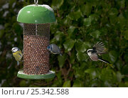 Купить «Blue tits (Parus caeruleus) feeding at nut feeder, Long tailed tit (Aegithalos caudatus) flying to feeder, UK», фото № 25342588, снято 18 октября 2018 г. (c) Nature Picture Library / Фотобанк Лори
