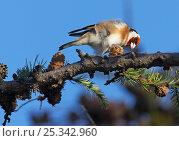 Купить «Goldfinch (Carduelis carduelis) foraging for seeds, Helsinki, Finland, November», фото № 25342960, снято 19 марта 2019 г. (c) Nature Picture Library / Фотобанк Лори