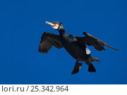 Купить «Cormorant (Phalacrocorax carbo) flying, Norway July», фото № 25342964, снято 16 декабря 2018 г. (c) Nature Picture Library / Фотобанк Лори