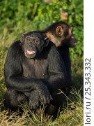 Купить «Rescued Chimpanzees (Pan troglodytes) showing fearful expressions, Ngamba Island Chimpanzee Sanctuary, Uganda, Africa. Captive, June 2009.», фото № 25343332, снято 18 августа 2018 г. (c) Nature Picture Library / Фотобанк Лори