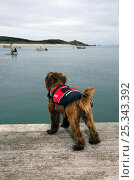 Dog looking out to sea, awaiting boat and wearing a life-jacket. Maisie (3/4 Tibetan Terrier, 1/4 Cocker Spaniel). St. Martin's, Isles of Scilly, UK. Стоковое фото, фотограф Merryn Thomas / Nature Picture Library / Фотобанк Лори