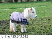 Купить «Shetland pony (Equus caballus) wearing winter rug. Hertfordshire, UK, December 2009.», фото № 25343512, снято 17 октября 2018 г. (c) Nature Picture Library / Фотобанк Лори