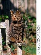 Купить «Domestic cat, Kurile Island bobtail cat sitting in sun on garden bench, Connecticut, USA», фото № 25343524, снято 20 августа 2018 г. (c) Nature Picture Library / Фотобанк Лори