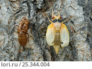 Купить «Periodical cicada (Magicicada septendecim) adult on tree trunk after final moult prior to hardening of exoskeleton, USA», фото № 25344004, снято 17 декабря 2017 г. (c) Nature Picture Library / Фотобанк Лори