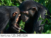 Купить «Rescued infant chimpanzee (Pan troglodytes) playing with female chimp, who acts as a surrogate mother in the infant integration program which introduces...», фото № 25345024, снято 23 января 2018 г. (c) Nature Picture Library / Фотобанк Лори