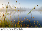 Купить «Misty morning with reflections on lake and dragonfly hanging from sedge, Estonia», фото № 25345076, снято 18 сентября 2018 г. (c) Nature Picture Library / Фотобанк Лори
