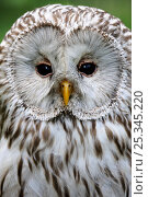 Купить «Head portrait of Ural owl (Strix uralensis) captive, France», фото № 25345220, снято 17 января 2019 г. (c) Nature Picture Library / Фотобанк Лори