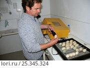 "Купить «Nigel Jarrett, Aviculture manager, ""candling"" a mallard egg (Anas platyrynchos) taken from an egg-turning incubator full of duck eggs, WWT Slimbridge, UK, May 2009.», фото № 25345324, снято 26 марта 2019 г. (c) Nature Picture Library / Фотобанк Лори"