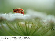 Купить «Common red soldier beetle (Rhagonycha fulva) pair mating on Wild carrot (Daucus carota carota) flower, Høvblege, Møn, Denmark, July 2009», фото № 25345956, снято 9 июля 2020 г. (c) Nature Picture Library / Фотобанк Лори