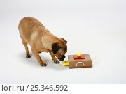 Mixed Breed Dog (crossbred Pug-Dachshund) bitch investigating small apparatus for testing intelligence and providing food. Стоковое фото, фотограф Petra Wegner / Nature Picture Library / Фотобанк Лори