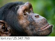 Купить «Female Chimpanzee head profile (Pan troglodytes) Billi, Ngamba Island Chimpanzee Sanctuary, Uganda», фото № 25347760, снято 25 марта 2019 г. (c) Nature Picture Library / Фотобанк Лори