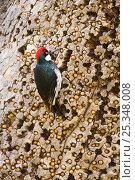 Купить «Acorn Woodpecker (Melanerpes formicivorus), male at granary tree showing many acorns stored for winter survival, Orange County, California, USA», фото № 25348008, снято 19 августа 2018 г. (c) Nature Picture Library / Фотобанк Лори