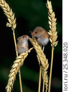 Купить «Two Harvest mice {Micromys minutus} on ears of corn, controlled conditions, UK», фото № 25348020, снято 24 октября 2018 г. (c) Nature Picture Library / Фотобанк Лори