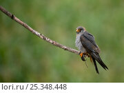Купить «Red footed falcon (Falco vespertinus) perched on branch with a mouse in its claws, Hortobagy National Park, Hungary, July 2009», фото № 25348448, снято 21 сентября 2018 г. (c) Nature Picture Library / Фотобанк Лори