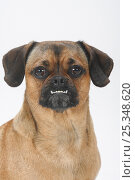 Mixed Breed Dog (crossbred Pug-Dachshund), undershot bite. Стоковое фото, фотограф Petra Wegner / Nature Picture Library / Фотобанк Лори