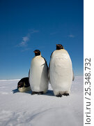 Купить «Three Emperor penguins (Aptenodytes forsteri) Cape Washington colony, Ross Sea, Antarctica, December», фото № 25348732, снято 23 мая 2019 г. (c) Nature Picture Library / Фотобанк Лори