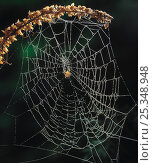 Купить «Web of Orb weaver spider {Araneidea} with spider in centre, UK», фото № 25348948, снято 25 января 2020 г. (c) Nature Picture Library / Фотобанк Лори