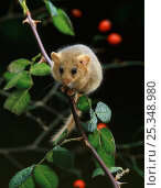 Dormouse {Muscardinus avellanarius} on rose branch, UK. Стоковое фото, фотограф Stephen Dalton / Nature Picture Library / Фотобанк Лори