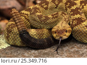 "Купить «Black-tailed Rattlesnake (Crotalus molossus) ""Smelling"" or ""tasting"" the air with its tongue. Chiricahua Mountains, Arizona, USA», фото № 25349716, снято 22 июля 2018 г. (c) Nature Picture Library / Фотобанк Лори"