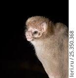 Купить «Hairy-legged Vampire Bat (Diphylla ecaudata) portrait, Tampaulipas, Mexico», фото № 25350368, снято 14 августа 2018 г. (c) Nature Picture Library / Фотобанк Лори
