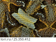 Rhinoceros viper / adder {Bitis nasicornis} skin detail, captive, from Africa. Стоковое фото, фотограф Edwin Giesbers / Nature Picture Library / Фотобанк Лори