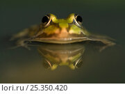Green / European edible frog {Rana esculenta} in water, the Netherlands. Стоковое фото, фотограф Edwin Giesbers / Nature Picture Library / Фотобанк Лори