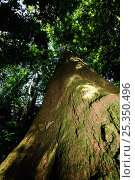 Купить «Brazil nut tree (Bertholletia excelsa) with an 8m circumference and 45m height, in the upland Amazon Rainforest at Cristalino Natural Private Patrimony...», фото № 25350496, снято 16 января 2018 г. (c) Nature Picture Library / Фотобанк Лори