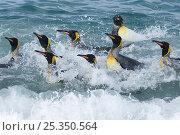 Купить «King penguins (Aptenodytes patagonicus) bathing in sea, St Andrews Bay, South Georgia, November», фото № 25350564, снято 24 сентября 2018 г. (c) Nature Picture Library / Фотобанк Лори