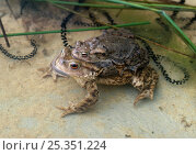 Купить «Common european toads (Bufo bufo) pair in amplexus with strings of toad spawn, UK», фото № 25351224, снято 15 декабря 2017 г. (c) Nature Picture Library / Фотобанк Лори