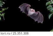 Купить «Hairy-legged Vampire Bat (Diphylla ecaudata) in flight at night, Mexico», фото № 25351308, снято 19 июня 2018 г. (c) Nature Picture Library / Фотобанк Лори