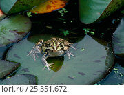 European edible frog {Rana esculenta} sitting on lily pad, UK. Стоковое фото, фотограф Stephen Dalton / Nature Picture Library / Фотобанк Лори
