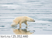 Купить «Polar bear (Ursus maritimus) sow hunting for seals on ice, off the Svalbard coast, Norway», фото № 25352440, снято 6 июня 2020 г. (c) Nature Picture Library / Фотобанк Лори