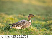 Купить «Pink footed goose (Anser brachyrhynchus) with neck band, North Norfolk, UK, January», фото № 25352708, снято 7 июля 2020 г. (c) Nature Picture Library / Фотобанк Лори