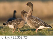 Купить «Pink footed geese {Anser brachyrhynchus} North Norfolk, UK, January», фото № 25352724, снято 4 июля 2020 г. (c) Nature Picture Library / Фотобанк Лори