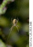 Купить «Orb weaver spider (Neoscona adianta) on web, UK, Araneidae», фото № 25353348, снято 25 января 2020 г. (c) Nature Picture Library / Фотобанк Лори