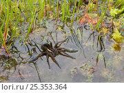 Купить «Raft spider (Dolomedes fimbriatus) on water, UK, Pisauridae», фото № 25353364, снято 10 декабря 2018 г. (c) Nature Picture Library / Фотобанк Лори