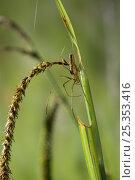 Купить «Long jawed / Slender orb weaver spider {Tetragnatha extensa} weaving a web near water, UK, Araneidae», фото № 25353416, снято 25 января 2020 г. (c) Nature Picture Library / Фотобанк Лори