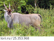 Male Common Eland (Taurotragus oryx) grazing on vegetation, Masai Mara National Reserve, Kenya. February. Стоковое фото, фотограф Anup Shah / Nature Picture Library / Фотобанк Лори