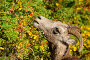 Bighorn sheep (Ovis canadensis) ewe feeding on leaves, Jasper National Park, Alberta, Canada, фото № 25354088, снято 22 сентября 2017 г. (c) Nature Picture Library / Фотобанк Лори