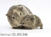 Купить «Yellow-agouti adult and baby Guinea pigs», фото № 25355548, снято 19 октября 2019 г. (c) Nature Picture Library / Фотобанк Лори